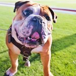 """""""Happiness is a warm puppy."""" - Charles M. Schulz Happy #NationalDogDay to our favorite pup, Bully XXI """"Jak!"""" https://t.co/dGnsDlp8AI"""