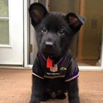 Happy #NationalDogDay! Share your pups rocking the purple and black using #RavensPets and well share our favorites! https://t.co/dWhTw6oB61