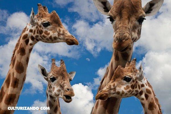Las jirafas tienen la misma cantidad de vértebras en su cuello (7 ...