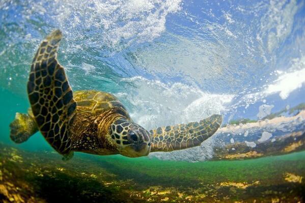 Sea Turtle, #Hawaii | Photography by ©Clark Little https://t.co/WsZsSj5Mub
