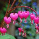 زهرة القلب النازف   - موطنها شرق آسيا - احد اجمل الزهور، وأغربها شكلاً، وهي سامة - الاسم:Lamprocapnos https://t.co/qmGhKugvCP