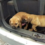 Abuja people! I am turning up in your town if you want this Boerboel tomorrow SPEAK NOW!! PLS RT https://t.co/5CSMehrCwc