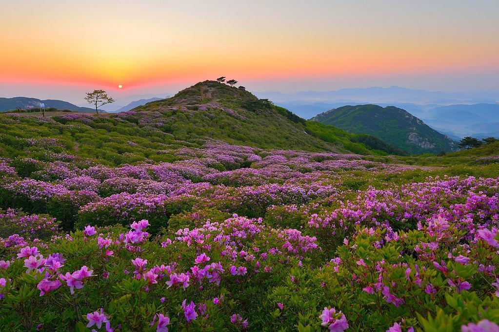 Royal Azaleas on Mt. Hwangmaesan | Photography by ©DaeWook Kim https://t.co/16wuOsnRzg