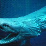 500RT:【深海サメ】シン・ゴジラのモデル「ラブカ」、沼津の水族館で展示中 https://t.co/KRlYJNvSdG 劇中、ゴジラは何度かその姿を変えるが、そのうち「第2形態」のモデルとされている。特徴的なエラがやはりよ… https://t.co/qzNjcdc4Cc