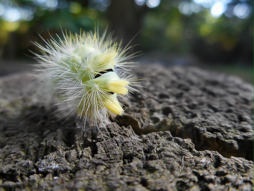 Encounter of the punk rocker kind. This is the caterpillar of the pale tussock moth @WildlifeTrusts #JamelG https://t.co/FOdE83OSjr