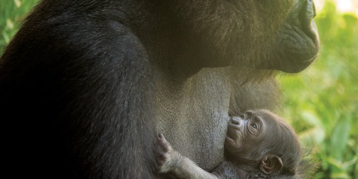 #phillyzoo welcomes new addition to our family: a western lowland gorilla baby https://t.co/ftzcRbyvuP #philagorilla https://t.co/vqw6cOcZqS
