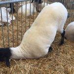 We met a sheep who just cant even. #BanksFair #MNStateFair https://t.co/kgkkS3rtt3