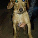 Copialo y pasalo Se encontró una perrita Salchicha por calle Los 108 frente al Monumento de la Madre en Plaza España https://t.co/8eWT2kozE0