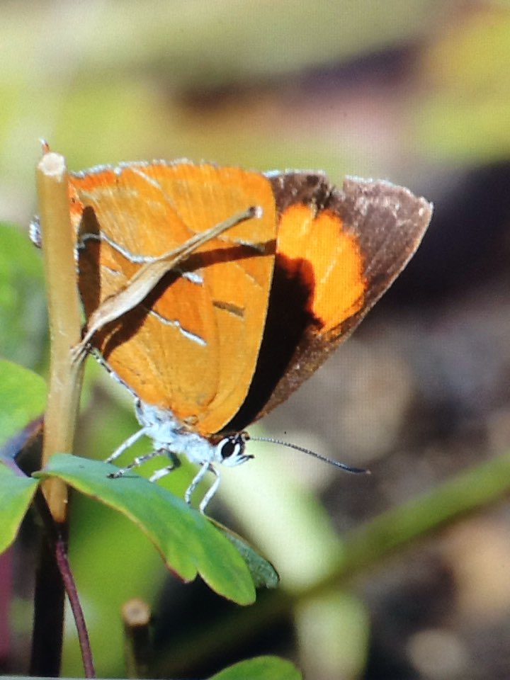 Had this brown hairstreak in my garden today 1st time ever