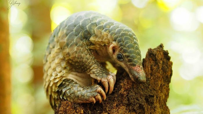 Meet the most poached mammals, pangolins - & learn about the push to save them: https://t.co/cGm7JZIDEc @action4ifaw https://t.co/qbpAROO5Wy