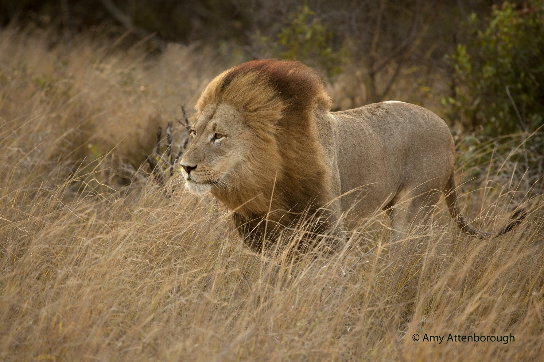 It only takes one #encounter with a lion to foster an ever lasting #respect for the king. Photo: @AmyAttenboroug1 https://t.co/9yq2N5aFNI
