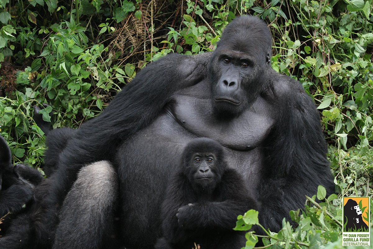 The Grauer's gorilla has just been elevated to critically endangered by the @IUCN. Read more:https://t.co/kWm1hUs2Zr https://t.co/Msjj9v3cew