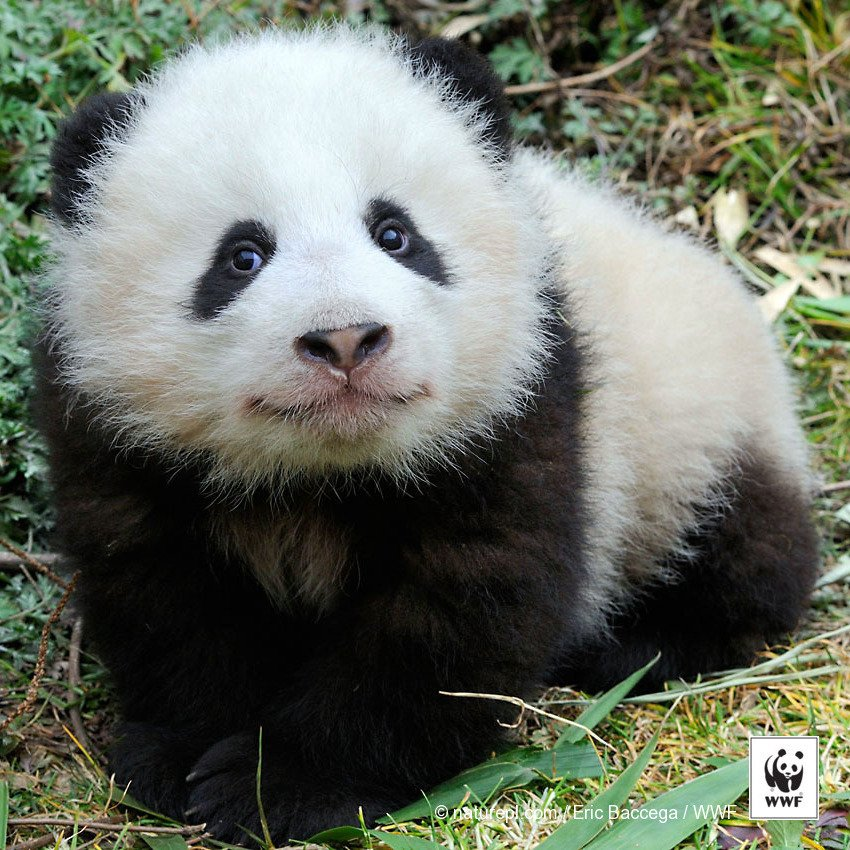 A BIG win for #conservation! Giant #pandas are no longer classified as endangered: https://t.co/UzaSyLFIn9 https://t.co/ASJzq79IbP
