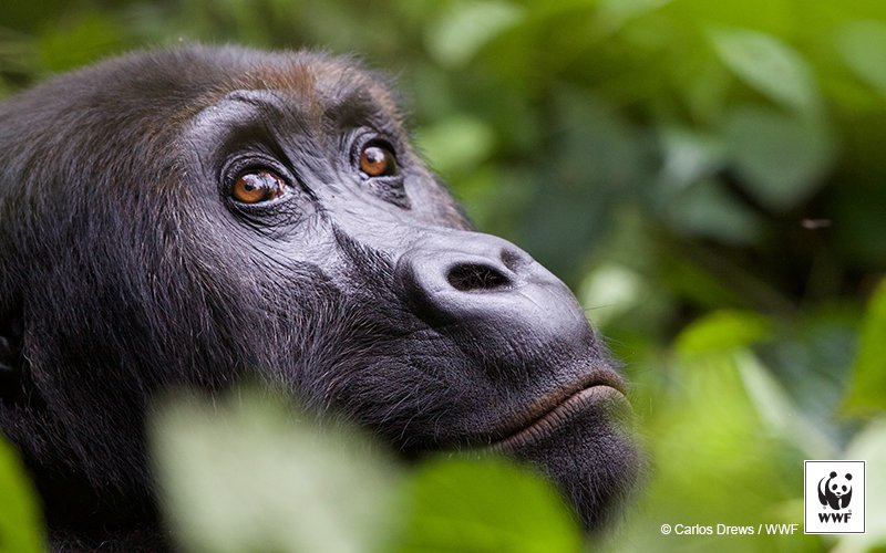 RT @WWF: Shocking news: Grauer's gorillas are now one step closer to extinction - https://t.co/6B5jxm8XkY https://t.co/2ew1mvuFFh