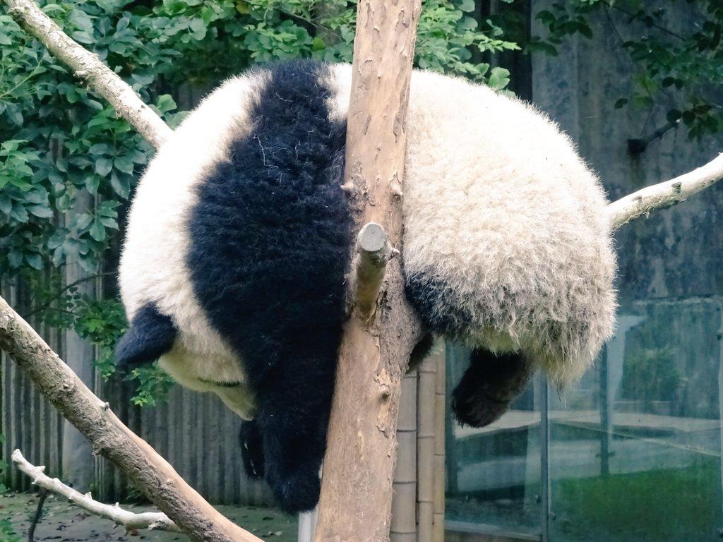 朝起きたら赤ちゃんパンダのリツイート数が凄い事になってた…。上げ忘れてた、干されパンダを横から撮ったやつ。 https://t.co/rs249Auwgd