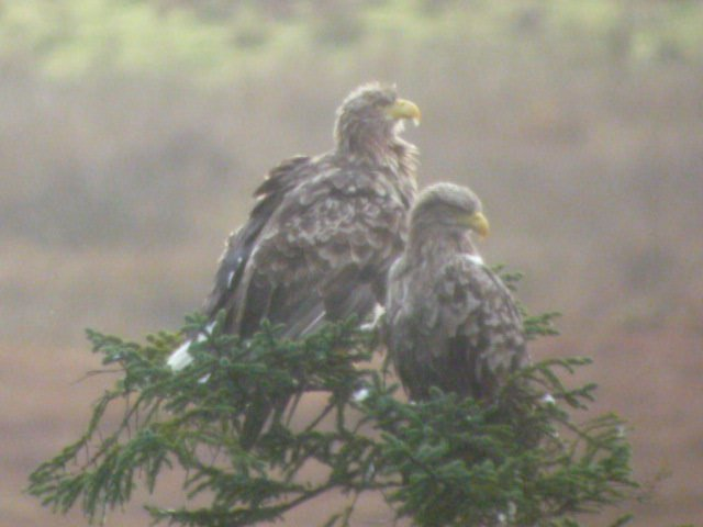 On tonight's One Show, a very special pair of White Tailed Eagles, along with RSPB @skyeandfrisa #Mull https://t.co/6j9VfGHQcu