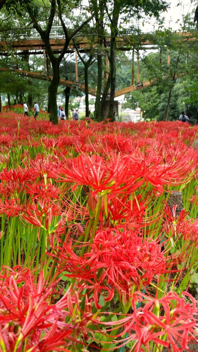埼玉県日高市の巾着田の彼岸花を見にきました! https://t.co/Ni6NQxFCIy