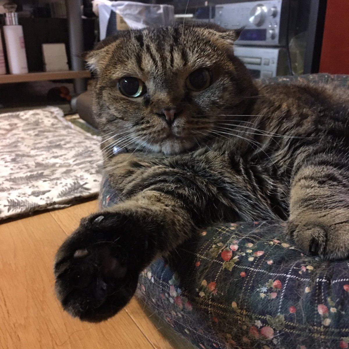 握手会開催中にゃ♡ #neko #cat #瑠南 #スコティッシュフォールド https://t.co/O4PkKV51Ea