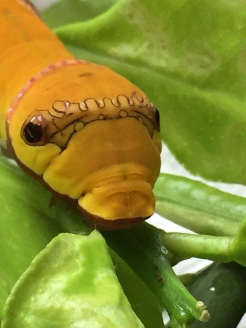 【訂正:アゲハ→クロアゲハ】今夜舞い込んだびっくりニュース。てんげる様が撮影した「黄色いクロアゲハの幼虫」のです!高橋真弓さん(元日本鱗翅類学会会長)も大変珍しいものだとおっしゃっています【拡散希望】 https://t.co/ZhmJkaedZs