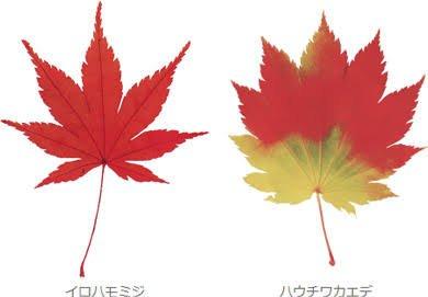 カエデとモミジの違い。それは同じカエデ科の樹木でも葉の切り込みが浅いものがカエデ、深いものがモミジ。江戸時代以来の区分けである。https://t.co/nlvcOrFtnl #考花学 https://t.co/0tdr0KFcFq