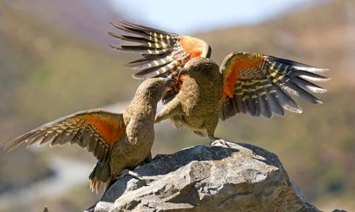 New Zealand kea, the world's only alpine parrot, faces extinction  https://t.co/9qMpeu2hvJ https://t.co/iqcAPQvw73