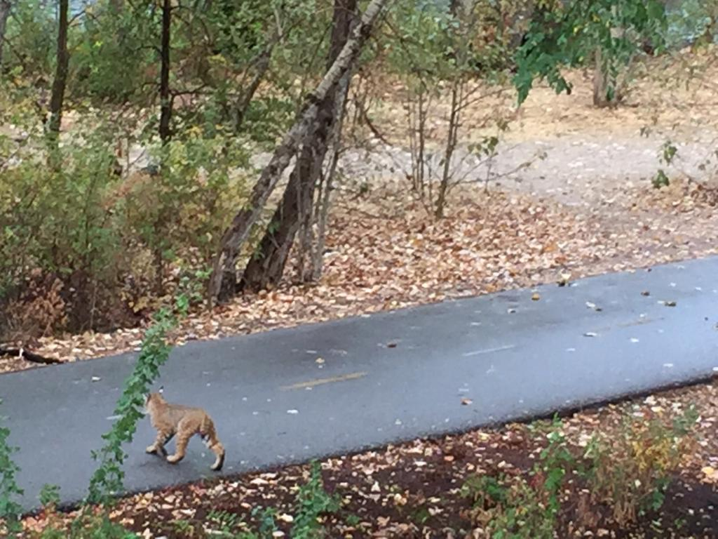 A bobcat sighting...on the Boise Greenbelt! https://t.co/yWxvse26QA