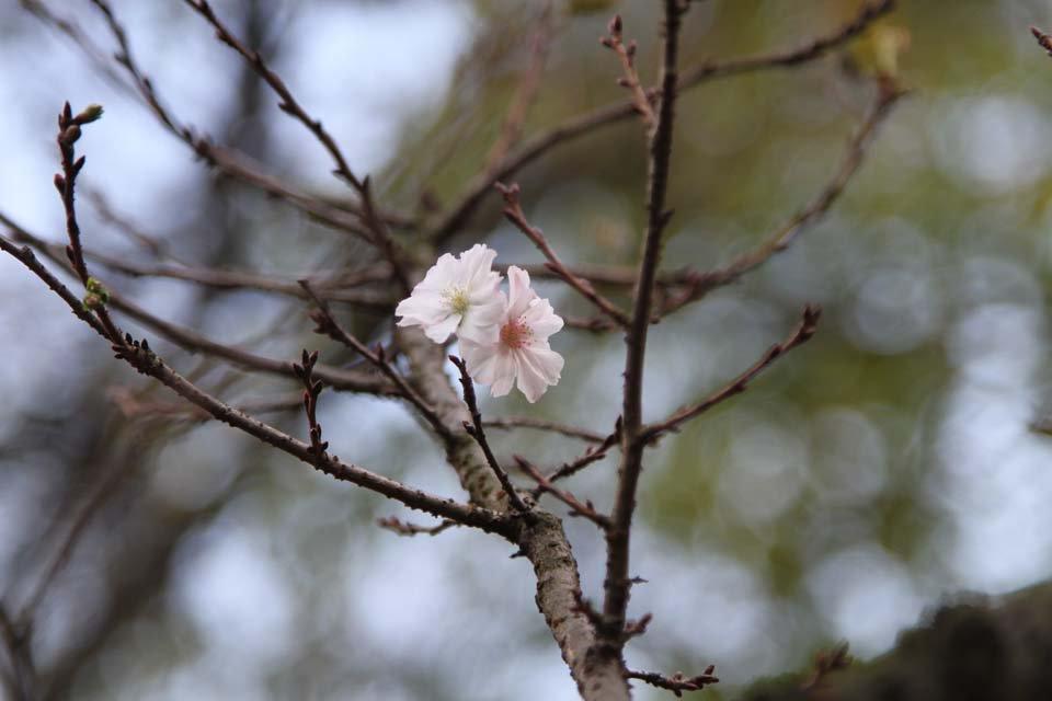 十月桜(ジュウガツザクラ)秋になると咲く桜。春の桜のように満開にはならない。他の桜は葉っぱが作るホルモンが花芽を眠らせている。十月桜は葉を落としているため眠り薬が作られないから咲くのだ。春に寂しい思いをした桜が、秋は視線を独り占め。 https://t.co/evZYQsWNUG
