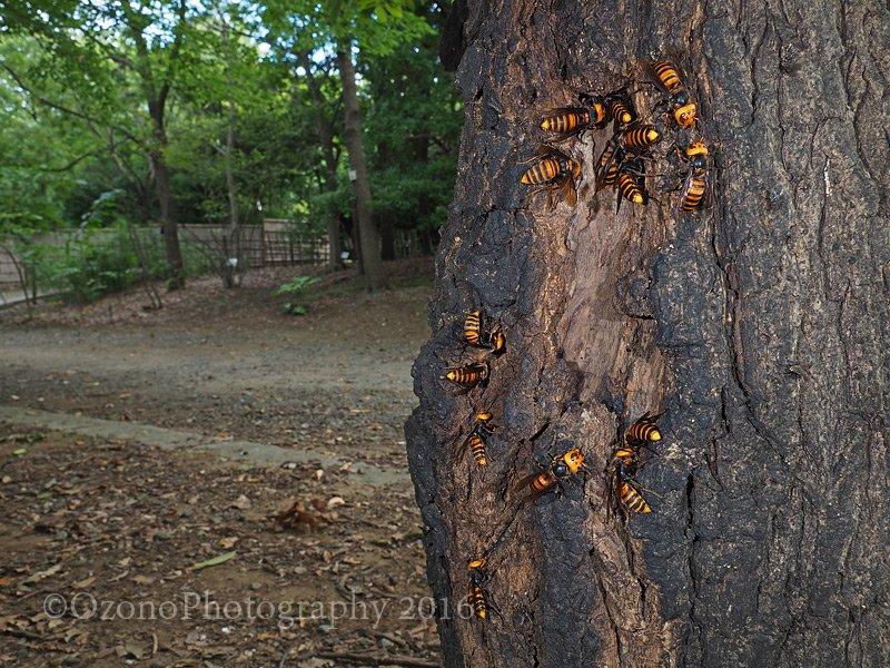 【こちらもご注意】先日も刺傷事故が報道されていましたが、秋になるとスズメバチが攻撃的になります。むやみに襲ってくることはありませんが、知らずに巣に近づくと危険です。よく見かける場所はできるだけ避けましょう。時には街中の公園にも… https://t.co/IEY7ABJIs5