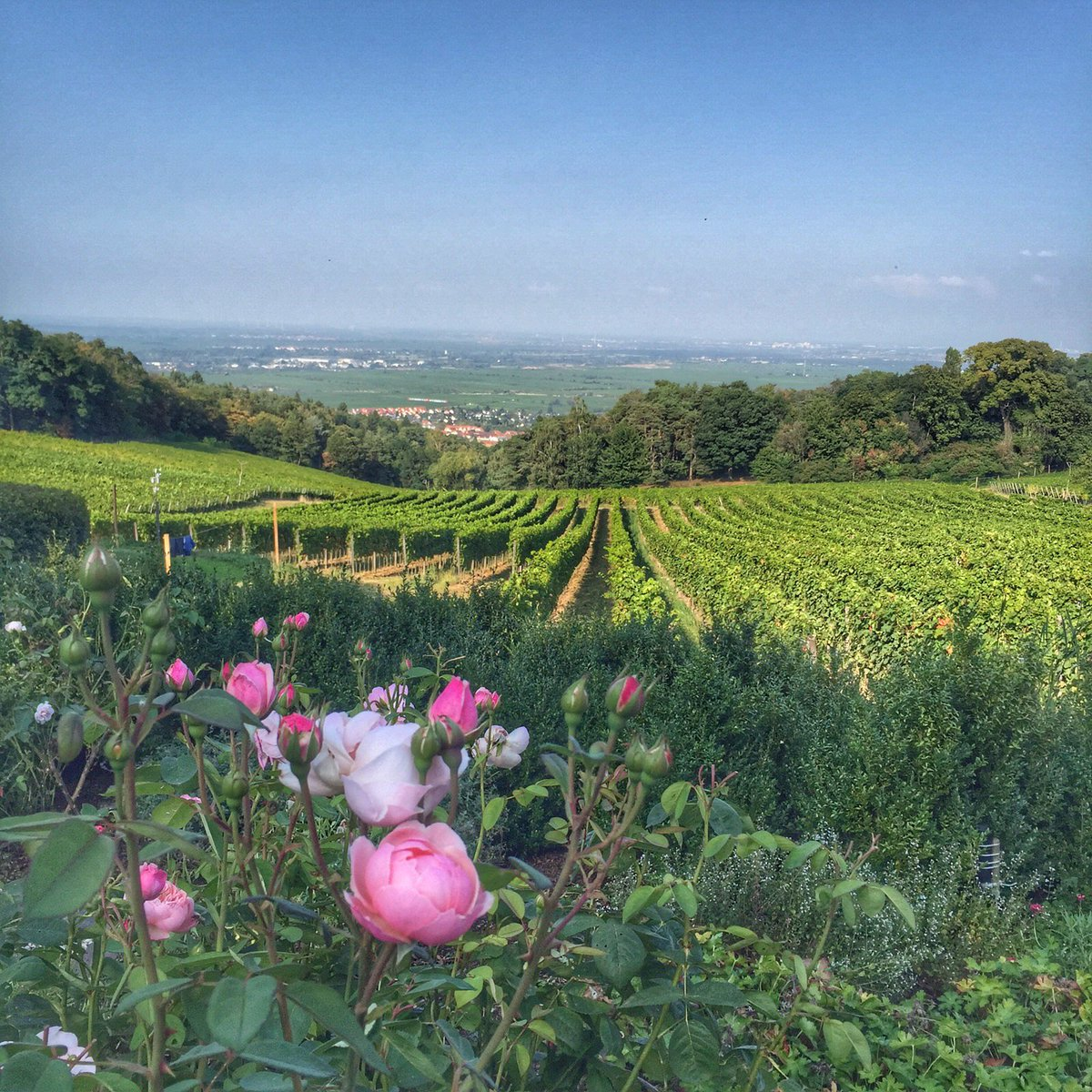 test Twitter Media - Can you see Frankfurt? #biodynamicvineyard #organic #wine #germany #pfalz #almostharvesttime #WeingutOdinstal https://t.co/eY8VkKDAh2