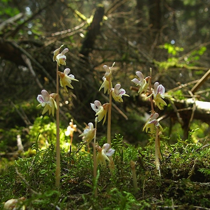 @dunnjons @naturefineart @ghostorchiduk @thenewgalaxy Here are some Ghost Orchids (Epipogium aphyllum) for you. https://t.co/fFQ5xOLe1e