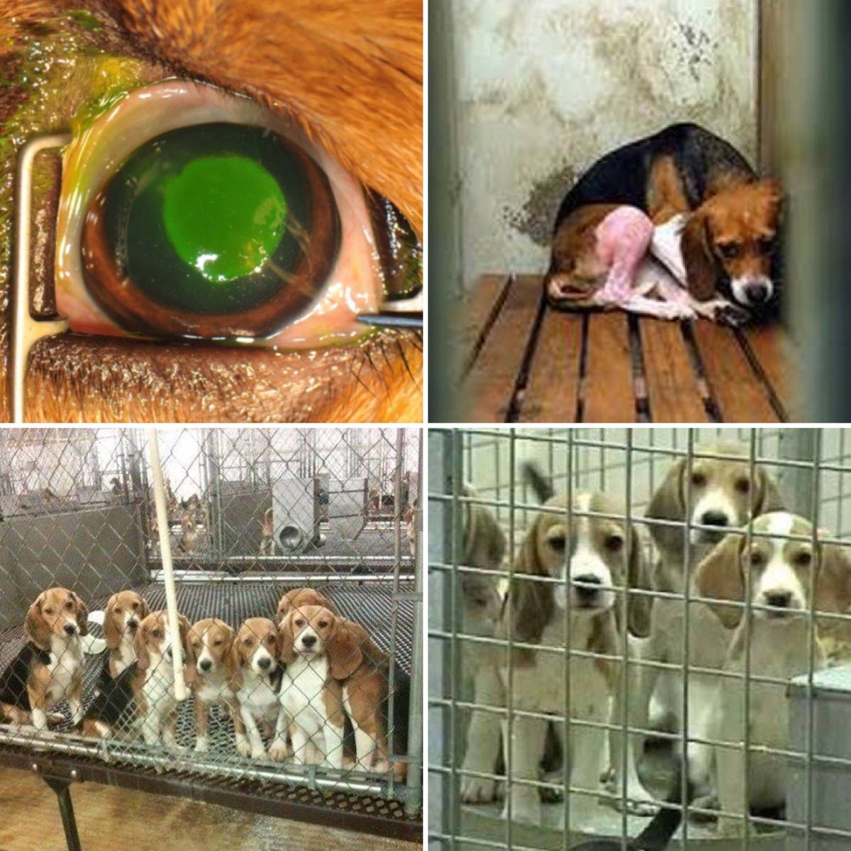 SIGN PETITION: https://t.co/RvZPQO0Pow @Mizzou purposely damaged 6 beagles' corneas and then killed them! https://t.co/nWuOFW6YYT