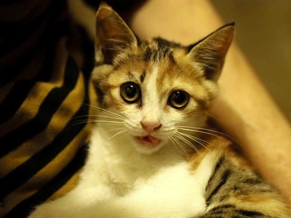 【緩募】【こっそり拡散希望】生後推定2か月で体重1kg弱の野良猫(メス)を保護してるので仔猫がほしい方を探しています。とはいえ全く知らない人だと心配なので、フォロワーさんかその知り合い程度でゆるっと募集します。よろしくお願いします。 https://t.co/s2sgsG8lwJ