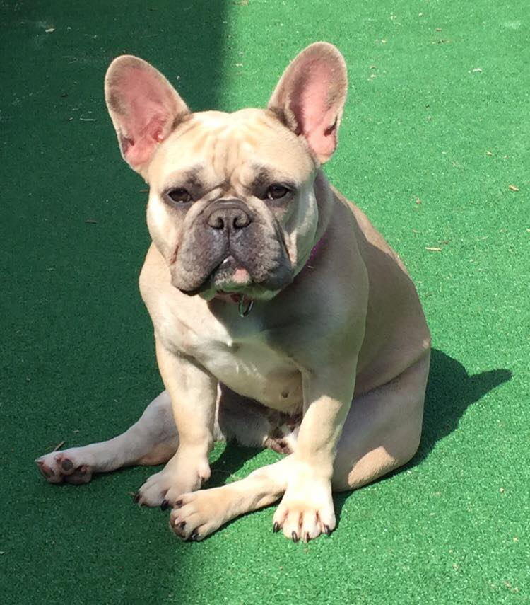 HELPBlue Fawn French Bulldog stolen from  back garden in Wickford she is nursing pups  RETWEET Reward  07515 541 051 https://t.co/Ed88xAaTCI