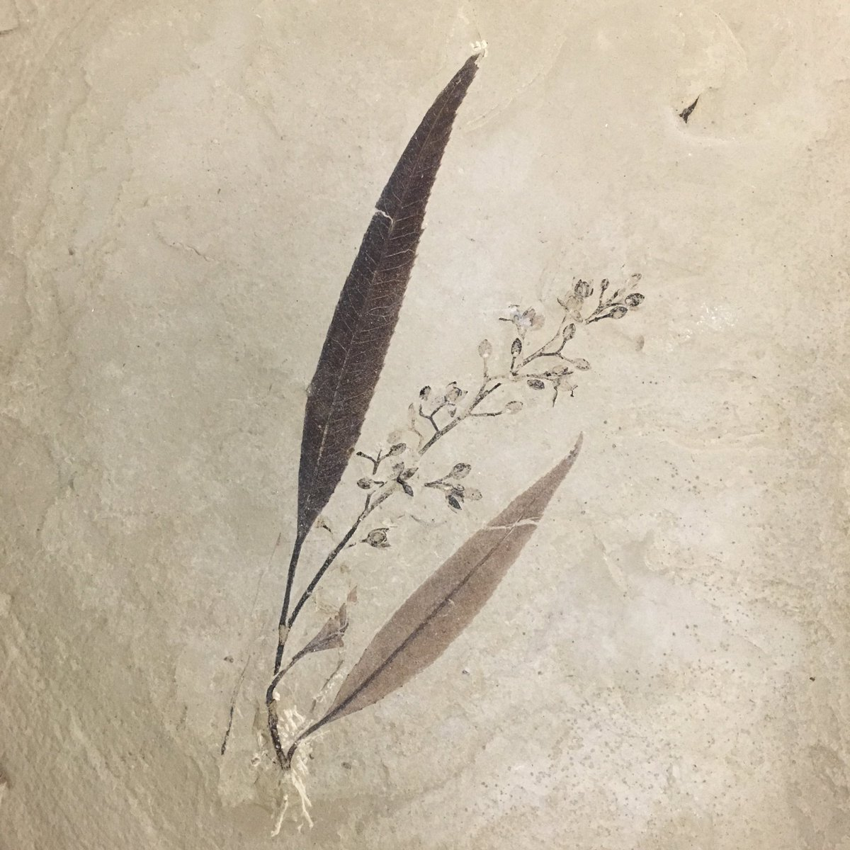 Pseudosalix handleyi, one of the most beautiful fossil plants I've ever seen. #FossilFriday https://t.co/YewmN9gATB