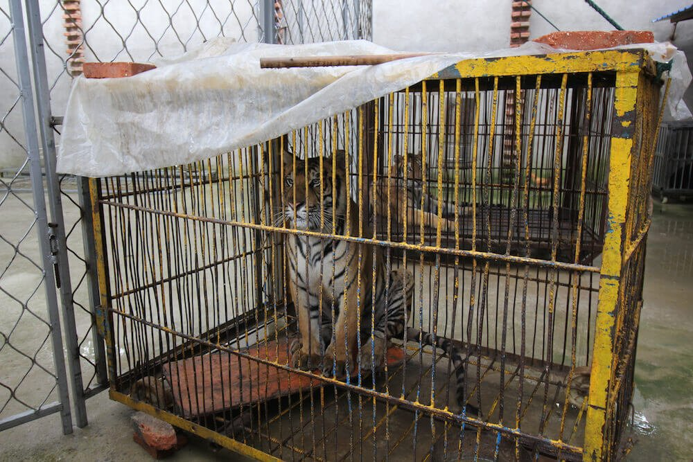 RT @PETAAsia: In the wild, tigers' territories can reach 10,000 square km. In the circus, they spend their days in cages #NoExcuse https://…