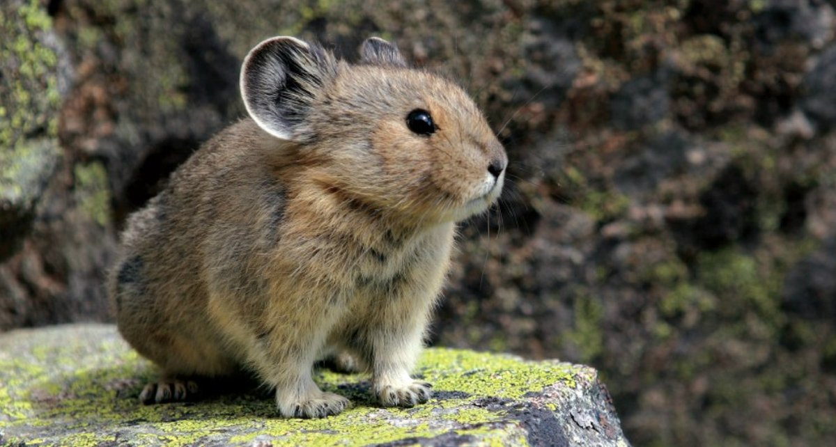 Guys. I know there's lots of news tonight. But I just learned about the American Pika. Look at this little guy: https://t.co/rtxY75ilBz