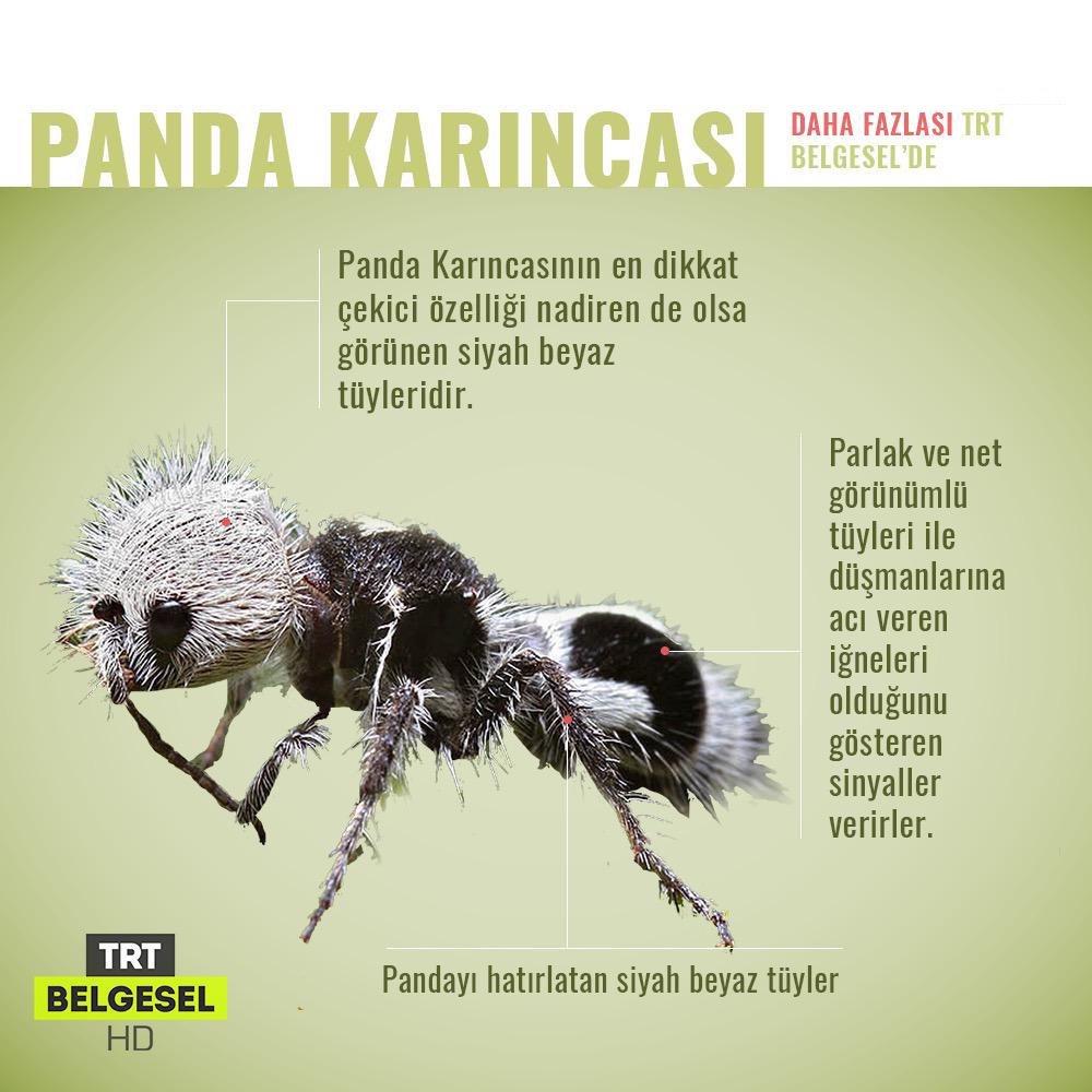 Doğada Nadir Görülen Hayvanlar | Panda Karıncası https://t.co/Z3PMvrLgx1