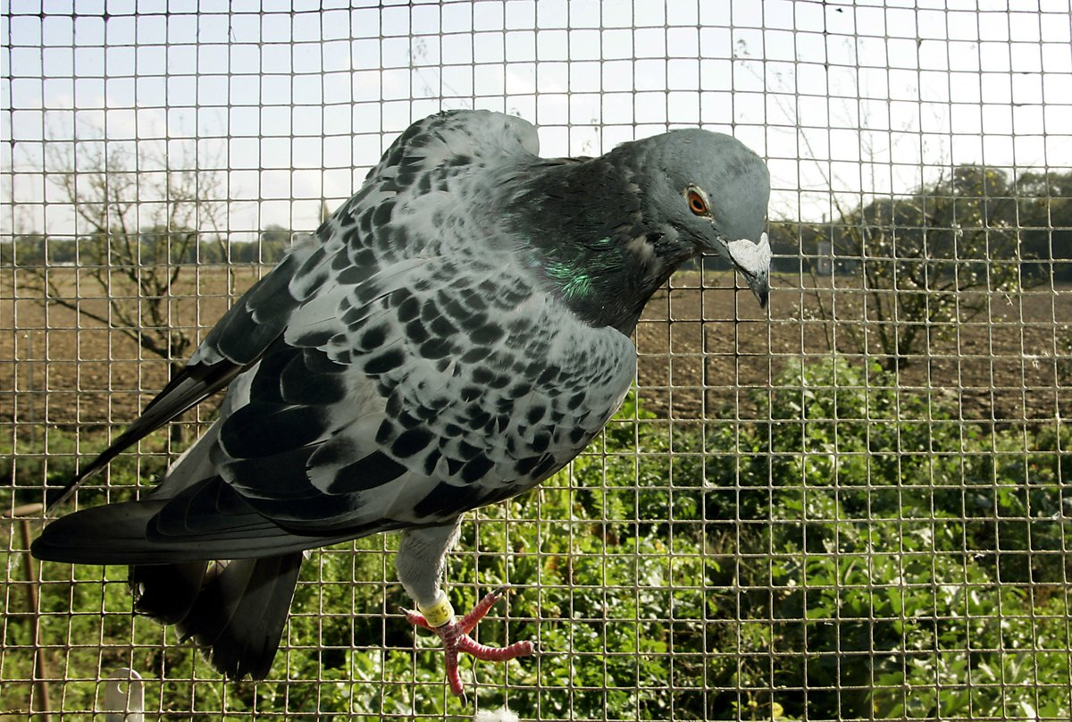 Inde: un pigeon soupçonné d'être un espion pakistanais placé en détention https://t.co/cCVTGqYcei