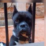 Por favor. Ayúdenme a ubicar mi mascota: Légolas. bóxer negro #xalapa (228-1218133)se extravió ayer por Cumbres https://t.co/1OBHBcbqDf