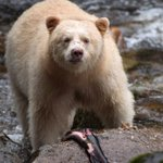 Great Bear Rainforest will give William and Kate glimpse of stunning natural world https://t.co/4t5pQ28xPi https://t.co/aonkpaFmBH