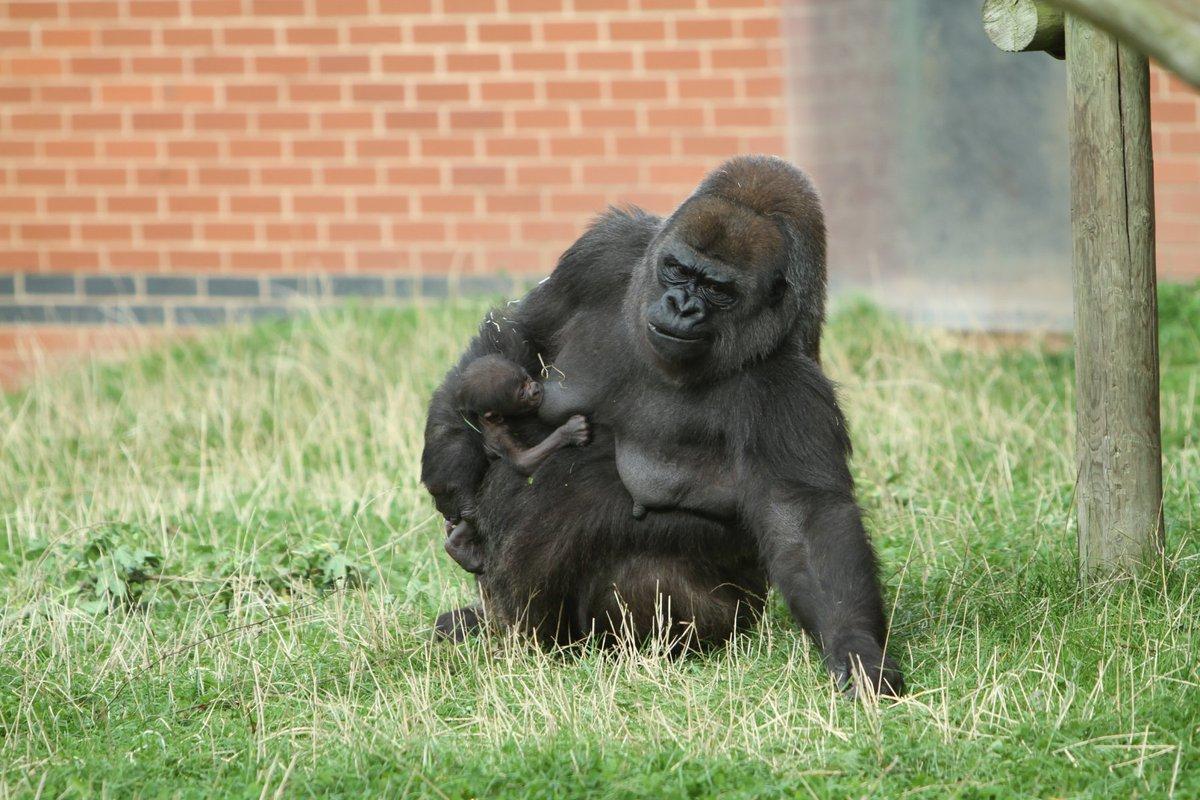 HEY BABY! Critically endangered gorilla born @TwycrossZoo https://t.co/Q2oooDhUYX https://t.co/kQQ1oZKS0r