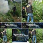 Se erradican matas de marihuana en colonia La Chácara, zona 5 - https://t.co/uh0Bk9uEny https://t.co/ZVpowcOCMH