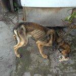 Омичи спасают двух собак от мучительной голодной смерти. Нужна ваша помощь: https://t.co/vkUyCO9ZUH #Омск https://t.co/hNXiJRa5gw