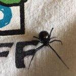 "This northern black widow was found in #Ptbo garden. @Reptilezoo1 says ""dont panic"". https://t.co/5BaOLEvj17 https://t.co/KE99SfeRK0"