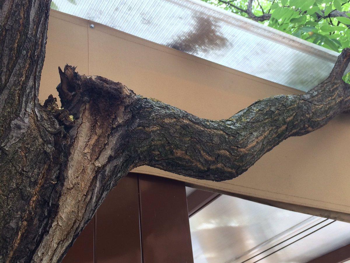 @Lineamadrid árbol enfermo con una rama en peligro de pudrirse. Se puede salvar el árbol aún. Calle Torremolinos 2b https://t.co/vK67MQUCE4