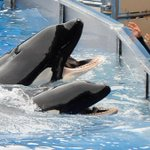 SeaWorld Introduces New Attractions, Orca Whale Presentation https://t.co/ZcB9XEy1nj #miami https://t.co/77k5it7s6c