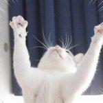 ( ・ω・)<招き猫、右手をあげたら金運を、左手をあげたら人を招くそうなので両方を招くうちの猫の画像流しておきますね。プラトーンとか言わないように!! #招き猫の日 https://t.co/785uQnhg1m