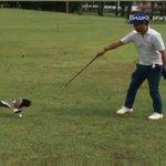 В Сингапуре птицы не дали гольфисту доиграть партию, приняв белый мяч за яйцо. #видео https://t.co/oZWoVs89F2