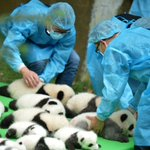 Theyre not toys! 23 baby giant #pandas born in 2016 make their debut in Chinas #Chengdu https://t.co/70Y4upr3Jp