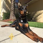 #TBT Cairo at 7 weeks old and now at 17 months old 🐾❤️🐾 #doberman @dogcelebration #CutestPuppyEver 😍 https://t.co/DsiNWc24cQ
